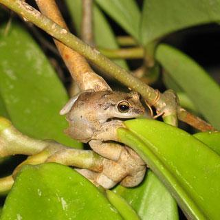 Photo whistling frog: Lindsay Rudder