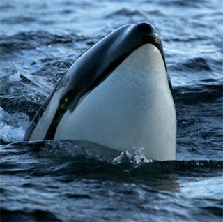 Marine mammals and fisch of Lofoten and Vesterålen recorded by oceansounds / Norway | Heike Vester