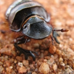 Dung Beetle (Catharsius platycerus)