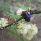 Amethyst Fruit Chafers (Leucocelis amethystina) mating