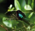 Lesser Antilles hummingbird, Purple throated Carib (Eulampis jugularis)