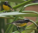 Bananaquit or sugarbird (Coereba flaveola) – Maybe the most common and noisy bird in the islands