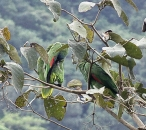 Pair of Red-necked Amazon (Amazona arausiaca) under the rain, endemic